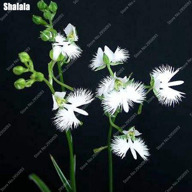 100pcs rare white egret orchid seeds japanese radiata seeds 100pcs rare white egret orchid seeds japanese radiata seeds beautiful white dove orchid seeds balcony mightylinksfo Image collections