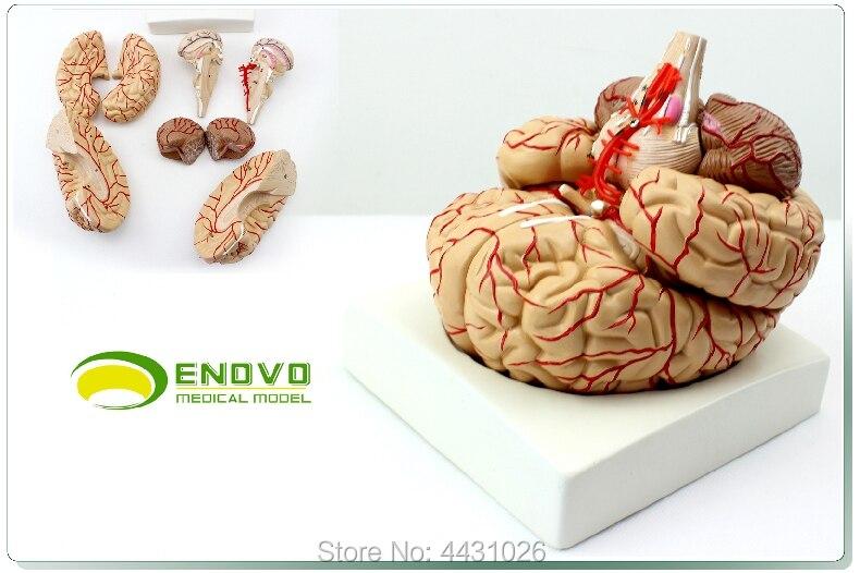 ENOVO The brain model brain model cerebrovascular cerebral artery neurology teachingENOVO The brain model brain model cerebrovascular cerebral artery neurology teaching