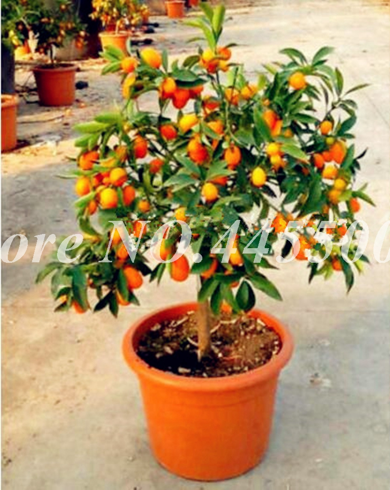 Pictures Of A Kumquat Tree