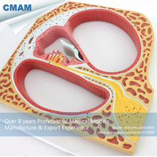 CMAM-EAR08 Large Size Section Model of Corti Organ Ear Models,Ear-Eye-Nose-Throat Models > Ear Models