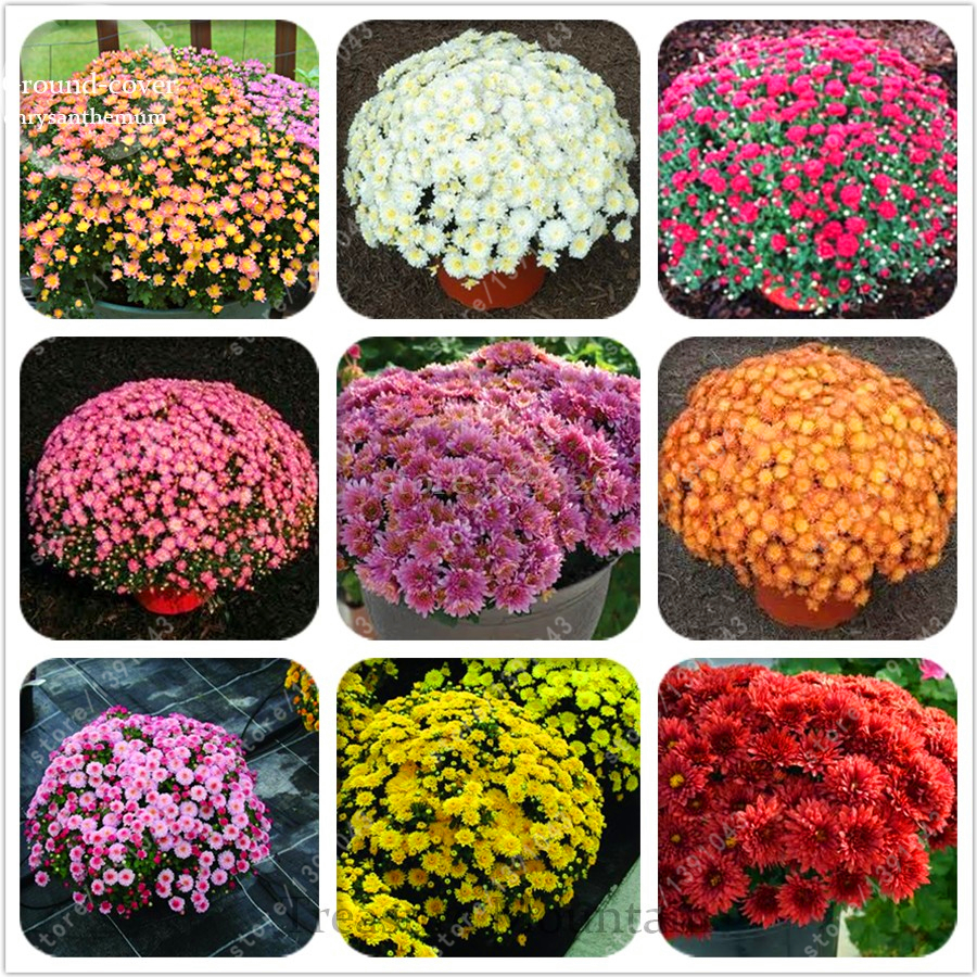 100pcsbag Ground Cover Chrysanthemum Seeds Chrysanthemum Perennial