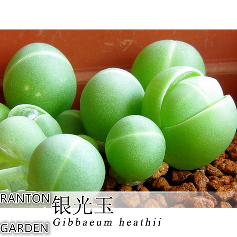 Quality Succulent plants seeds 10pcs per pack Green Gibbaeum heathii seeds very rale Germany Algae seed for home garden
