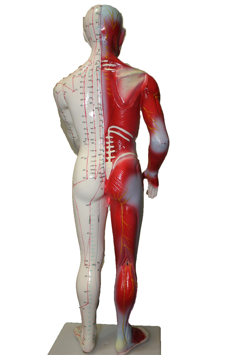 HD fest 60 cm Männlich Menschliches Akupunktur Akupunkturpunkt ...