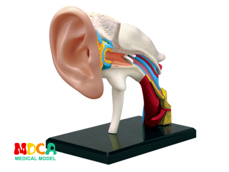Ear canal 4d master puzzle Assembling toy human body organ anatomical model medical teaching model shunzaor dog ear lesion anatomical model animal model animal veterinary science medical teaching aids medical research model