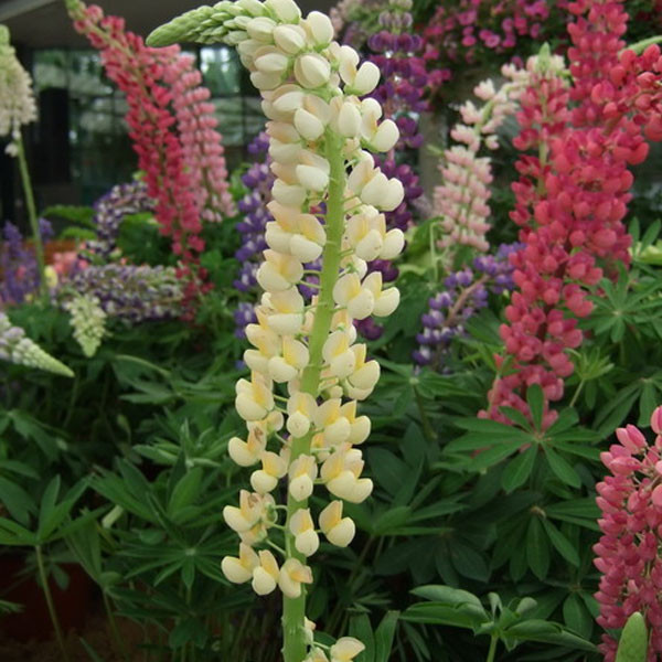 Aliexpress buy lupine seeds potted flowers yellow lupine aliexpress buy lupine seeds potted flowers yellow lupine seedsa bag free shippingabout 100 particles from reliable flower favor bags suppliers on mightylinksfo