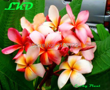 7 to15inch Rooted Plumeria Plant Thailand Rare Real Frangipani Plants no49-cherbet-rainbow
