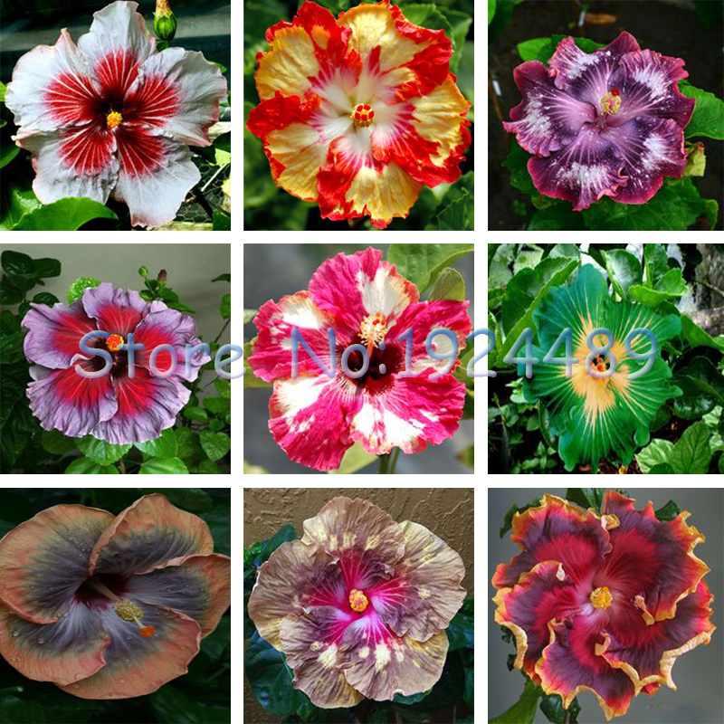 Hibiscus Gardens-Achetez des lots à Petit Prix Hibiscus Gardens en ...