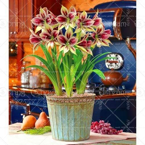 100pcs Blue Hippeastrum Flower Bonsai Plants (not bulbs) Perennial Indoor Flowering Potted Big Flower Home Garden 4