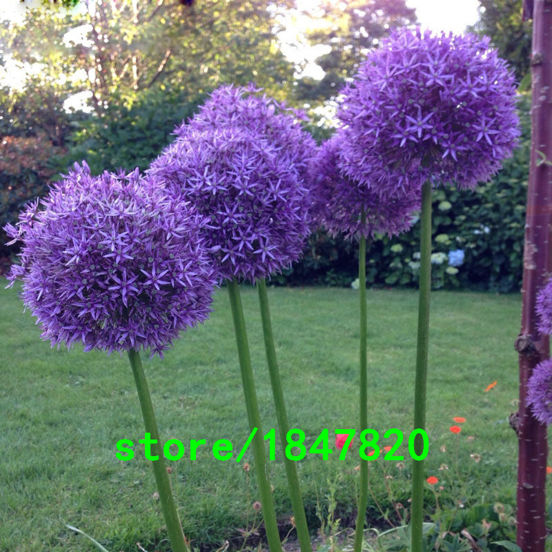 GGG 100pcs Purple Giant Allium Giganteum Beautiful Flower Seeds Garden Plan..