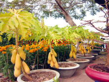 mini fruit potted bonsai 30 Papaya Tree Seeds,perfect fruit for your family,DIY home garden best healthy food for family gift(China)
