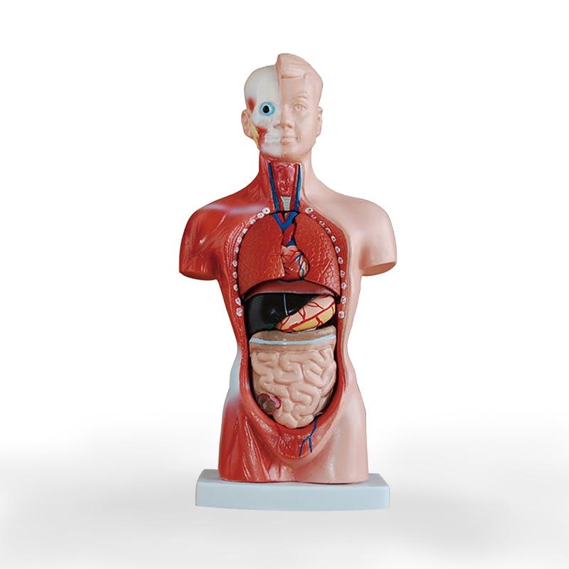 26cm Human Torso model Structure model of visceral organs Internal Organ Distribution Model performance evaluation of existing rcc structure