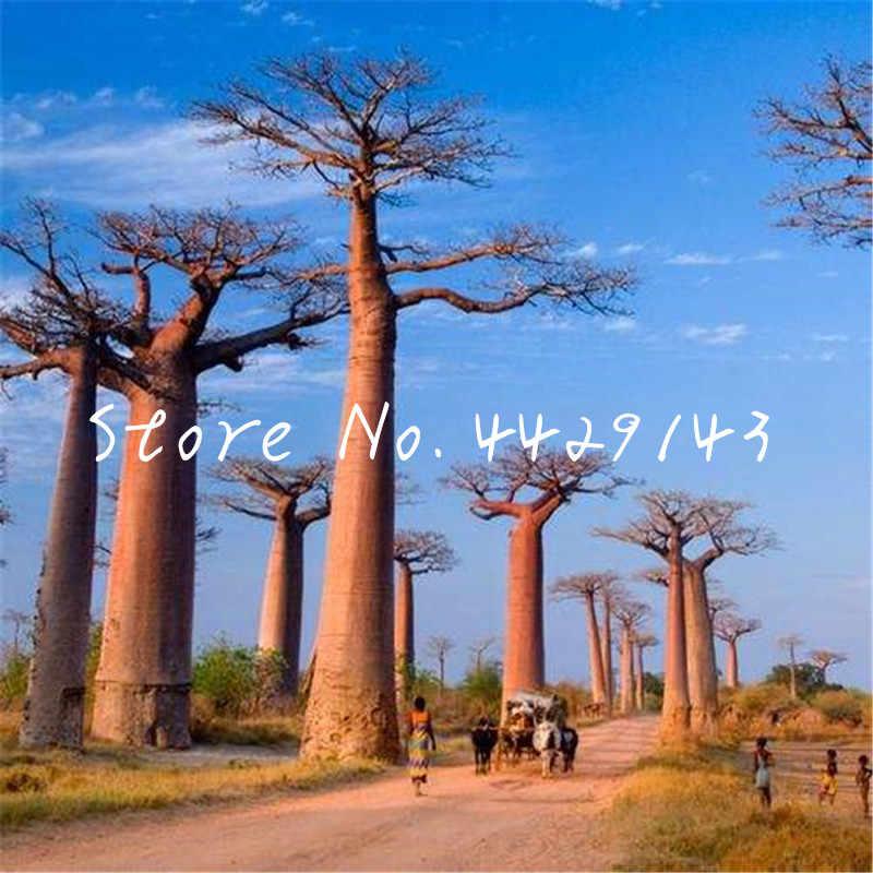 100 قطعة شجرة باوباب العملاقة بونساي ، حديقة استوائية زخرفية زهرة نبات دائم الخضرة ، النباتات الوعائية المعمرة تنقية الهواء