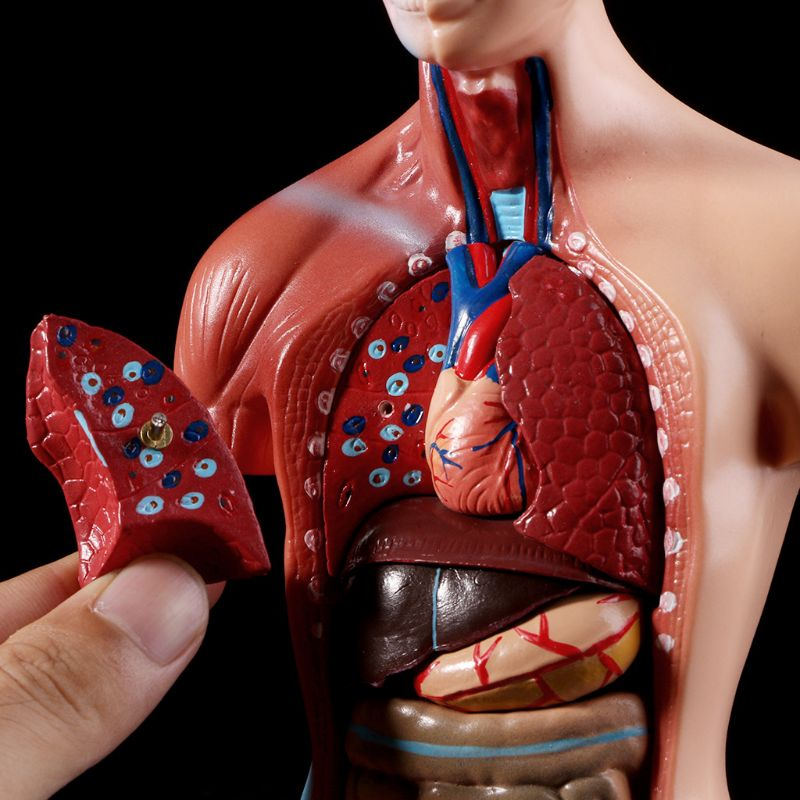 Modelo anatômico do corpo de torso humano, modelo de corpo anatômico para órgão médico interno para ensino, estoque na fonte 2