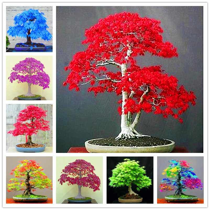 10Pcs/Bag True Red Maple Tree bonsai plant  Maple plants Very Beautiful Indoor Tree home garden decortion bonsai planting