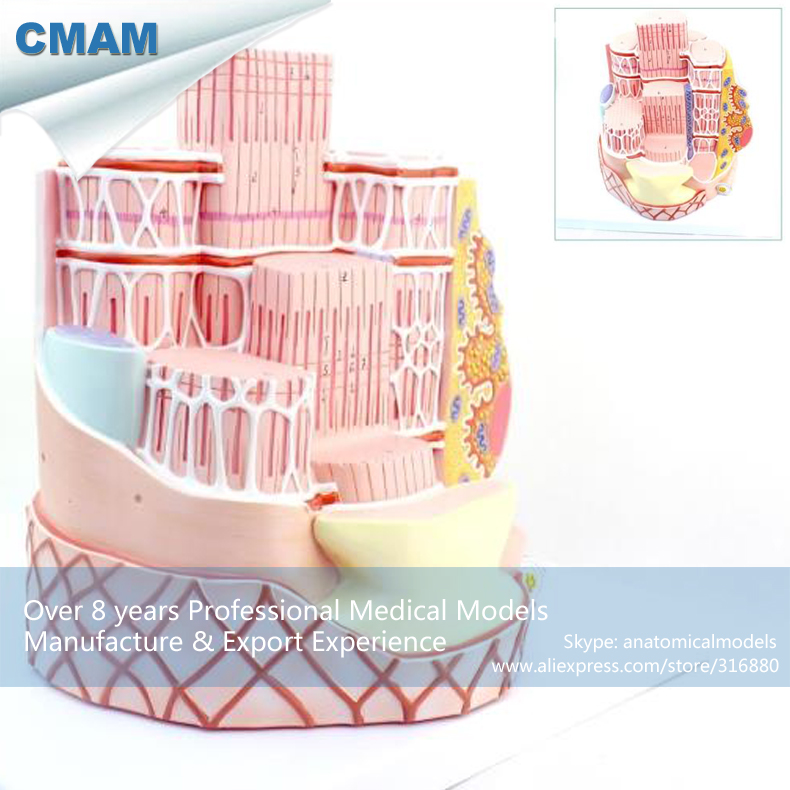 12494 CMAM-HEART19 Anatomy Model General Structure Of Skeletal Muscle, Medical Science Educational Teaching Anatomical Models 12400 cmam brain03 human half head cranial and autonomic nerves anatomy medical science educational teaching anatomical models