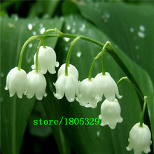 50 pcs Lily of the Valley flower seeds , bell orchid seeds,rich aroma ,bonsai flower seed, so cute and beautiful