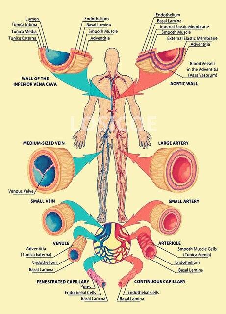 Ziemlich Artikel über Die Anatomie Fotos - Anatomie und Physiologie ...