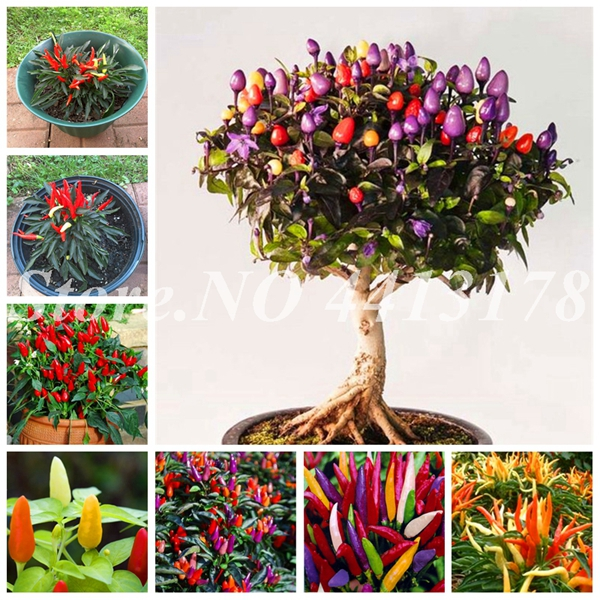 200 pcs/ bag Giant Spices Spicy Red Chili Hot Pepper Exotic Potted Bonsai Garden Plant for Flower Pot Planters Easy to Grow