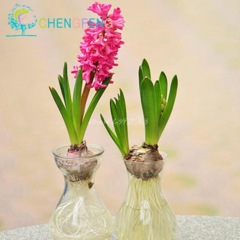 jacinthe plantes achetez des lots petit prix jacinthe plantes en provenance de fournisseurs. Black Bedroom Furniture Sets. Home Design Ideas