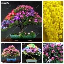 35478354f9 Galeria de acacia bonsai por Atacado - Compre Lotes de acacia bonsai ...