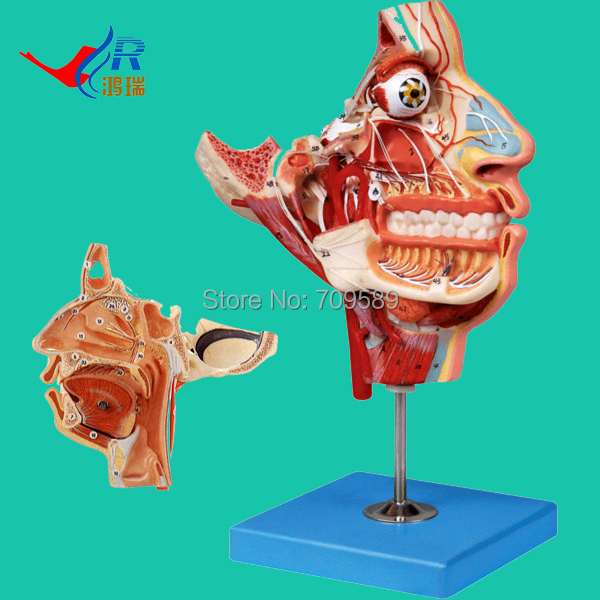 ISO Detailed Anatomical Nerves and Vessels of the Facial Skull, Face and Head Model economic half head with vessels model anatomical head model with brain nerves vascular muscles and vessels