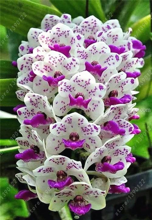 Орхидея Цимбидиум семена фото
