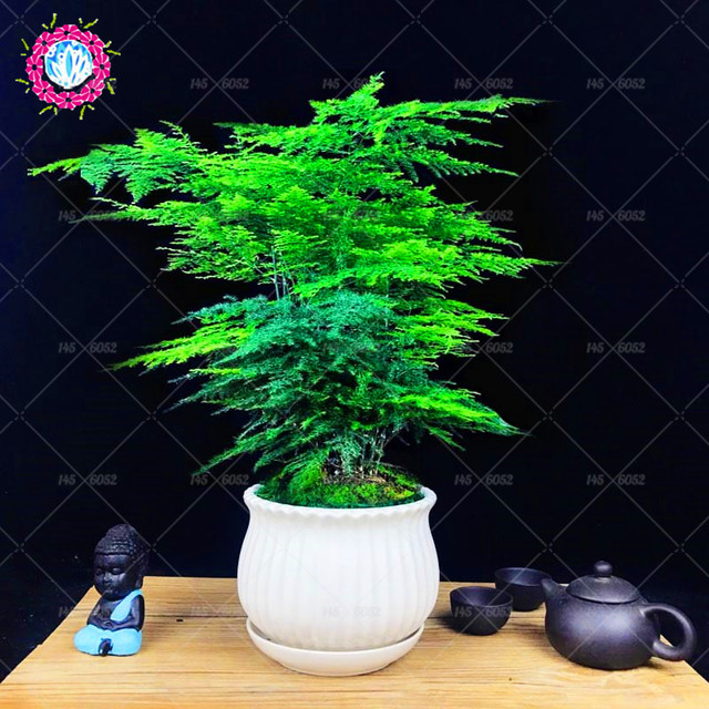 10 pcsbag asparagus fern tree seeds perennial small bamboo seed evergreen indoor bonsai plants for home garden mini pot plant
