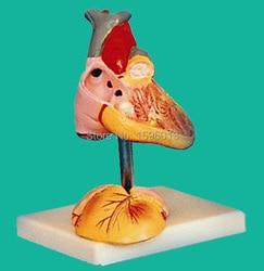 Child Anatomical Heart Model, Child Heart Model