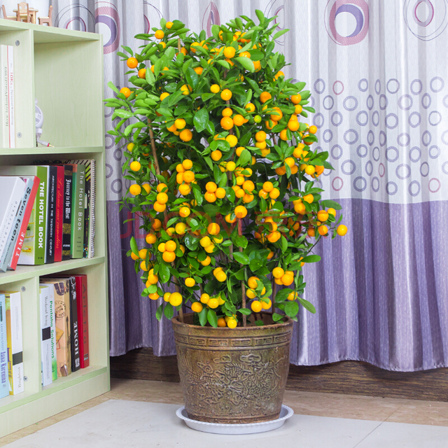 40PCS Bonsai Orange  Potted Edible Tangerine Citrus Fruit  Dwarf Orange Tree  Indoor Plant For Home Garden plants