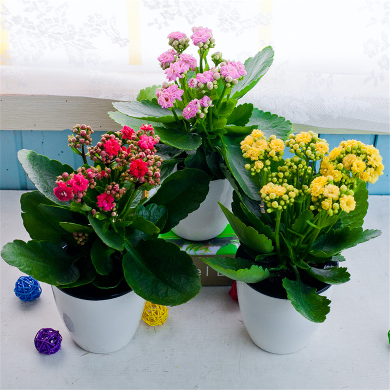 Popular Kalanchoe Seeds-Buy Cheap Kalanchoe Seeds lots from China ...