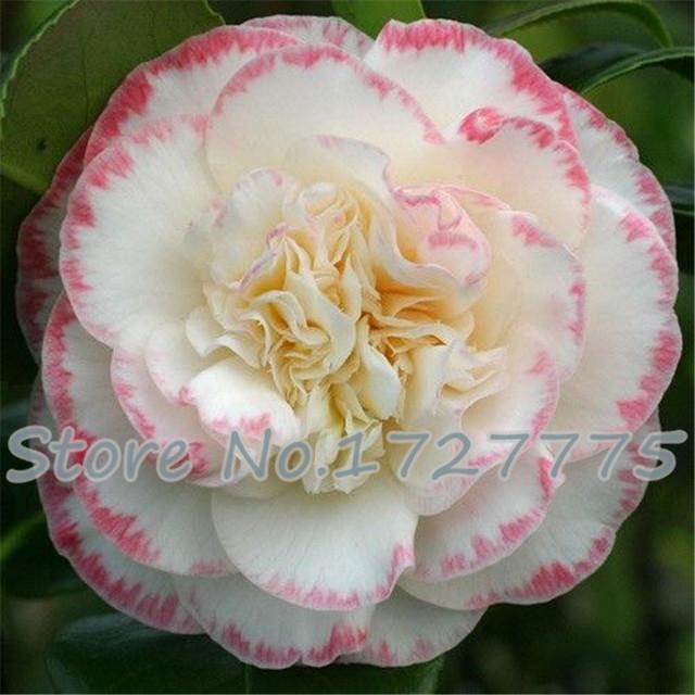Hot Sale 50pcs Camellia plants home garden flowers bonsai rainbow color rare tree plants for gift