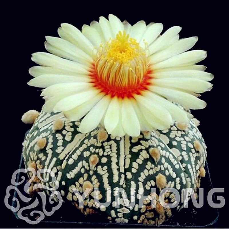 Time-Limit!!Succulents Campsis Tubiflora Seeds, Imported cactus, rare bonsai cactus flower, about 100PCS / bag