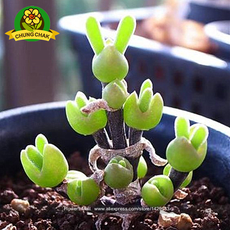 Free Shipping 200pcs Bundle Rabbit Succulent Seeds Bonsai: 7 uncommon indoor plants
