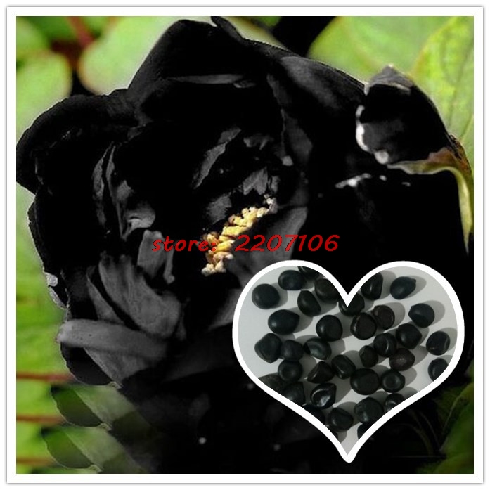 Peony flower seed sales of rare earth Chinese peony seeds and green courtyard patio garden 10 PCS ...