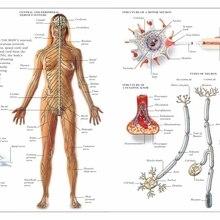 Cartel de enciclopedia Vintage de Anatomía Humana, pinturas clásicas del sistema nervioso sobre lienzo, pósteres de pared Vintage, pegatinas para decoración del hogar, regalo