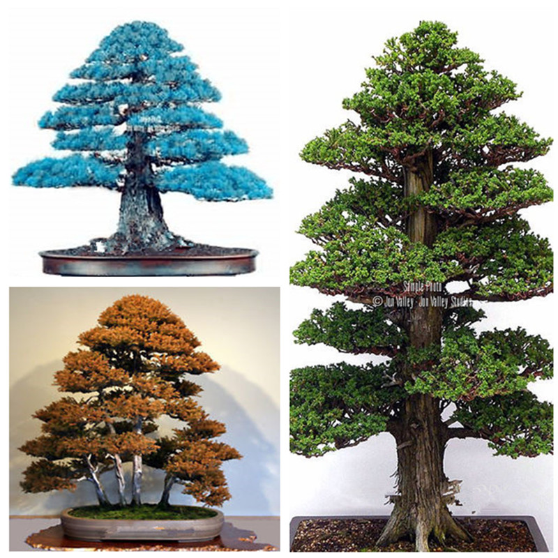Details about 100PCS Rare Tree bonsais Bonsai Plant JAPANESE Cedar(China)