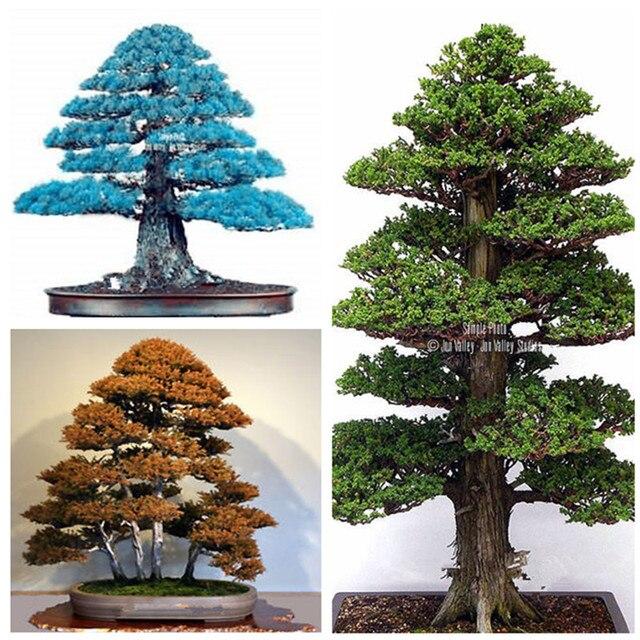 تفاصيل عن 100 قطع نادر شجرة bonsais بونساي النبات اليابانية الارز