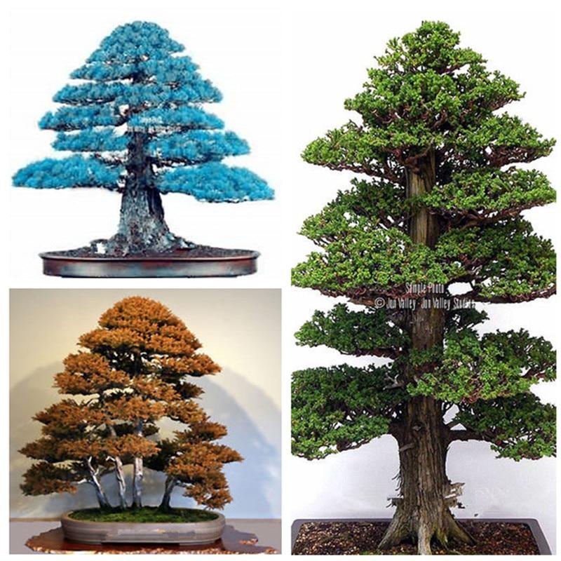 Details about 100PCS Rare Tree bonsais Bonsai Plant JAPANESE Cedar