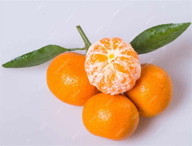 20 Buah Jeruk Bonsai Buah Dalam Pot Tanaman Pohon, Smal Sweet Candy Orange Planta, tinggi Tingkat Kelangsungan Hidup Bonsai Makanan Sehat untuk Taman