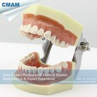 12563/Rígido Gengiva Dental Modelo de Formação Básica Abrangente  a Ciência Médica Educacional Modelos Anatômicos|medical science|dental training models|anatomical model -