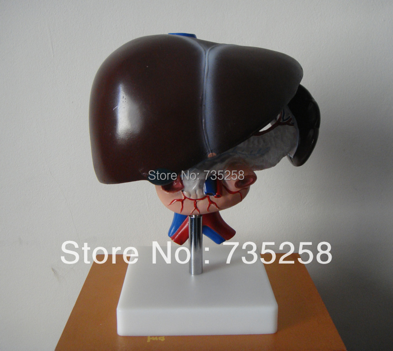 Liver, Pancreas and Duodenum Model, Liver Anatomical Model human liver model anatomical model medical science teaching supplies human liver model liver medical model gasen rzrtxh011