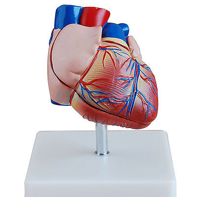 Life Size Human Heart Anatomy Model 2 Part Cardiac Medical Learning Kit high quality life size human skeleton model 180cm tall