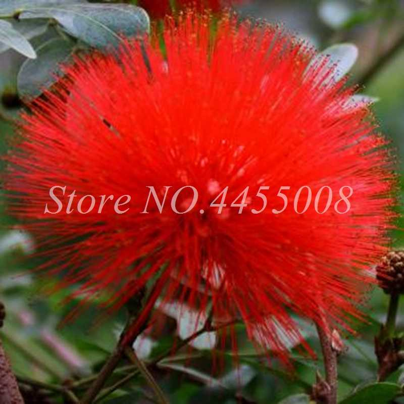 Detail Feedback Questions About Bonsai 50 Pcs Red Albizzia Acacia