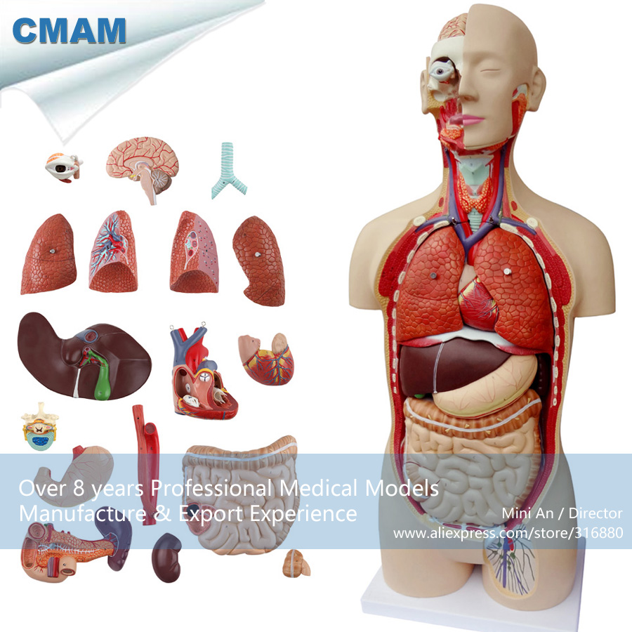 12019 CMAM-TORSO08 Anatomic Model of Body Organ Structure in 85CM Asexual Tunk, Medical Educational Teaching Anatomical Models 158pcs molecular model organic chemistry molecules structure model for chemistry teaching
