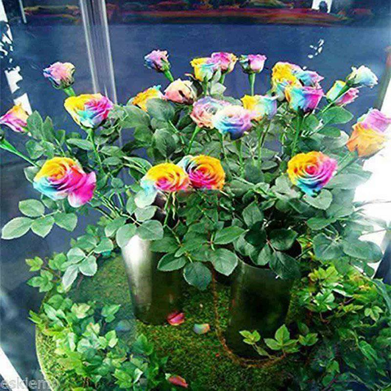 50 seeds rare rainbow rose seed flowers lover colorful home garden plants rare rainbow rose flower - Flowers For Home Garden