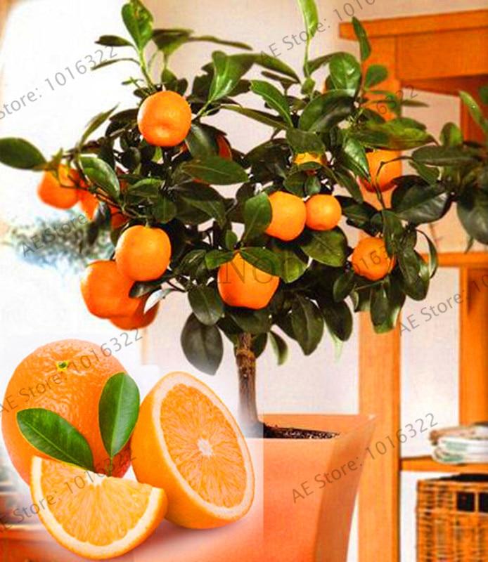 Us 0 28 65 Off New Fresh Fruit Plants Orange Tree Garden Dwarf Washington Navel Grow Indoors In Bonsai Or Outdoors 30pcs Bag F8h6mh From