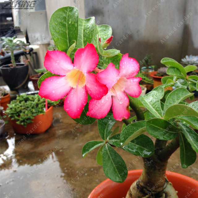 Zlking 2 Pcs China Pink Desert Rose Plants Flowers Bonsai Rare Hot