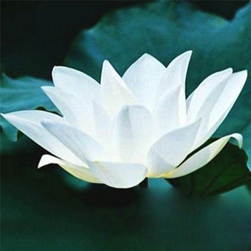 high quality wholesale white lotus from china white lotus, Natural flower