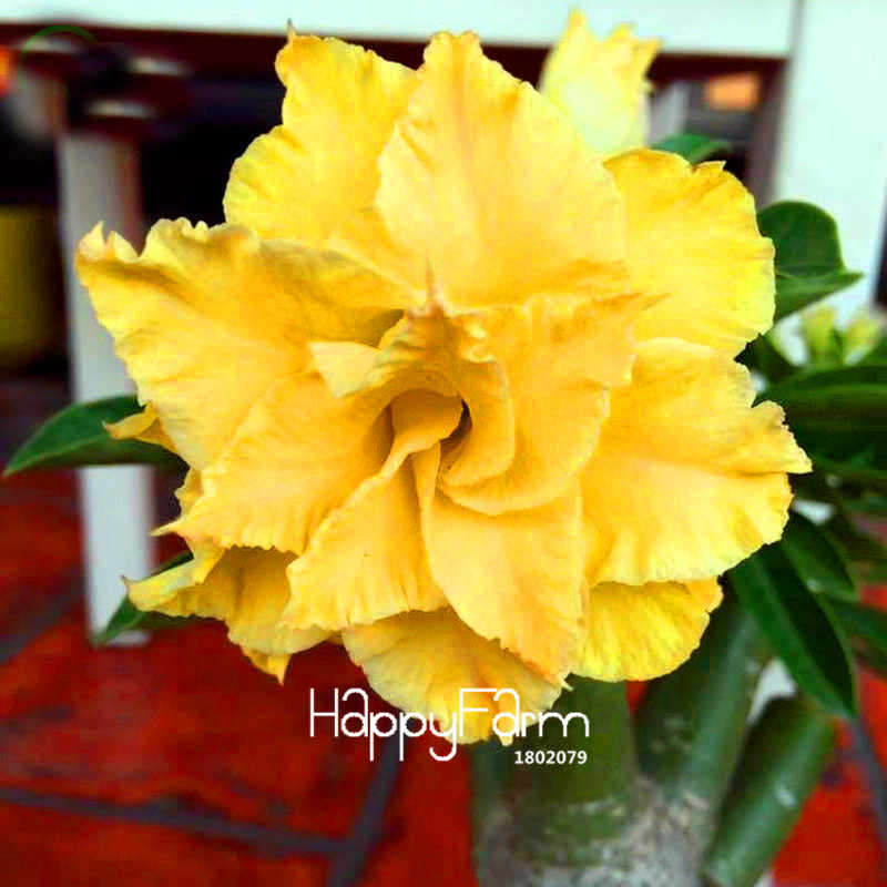تشجيع خسارة! 1 بونساي الكثير فريد الأصفر وردة الصحراء حديقة نباتات الزينة الزهور Plantas شرفة بوعاء العدينة