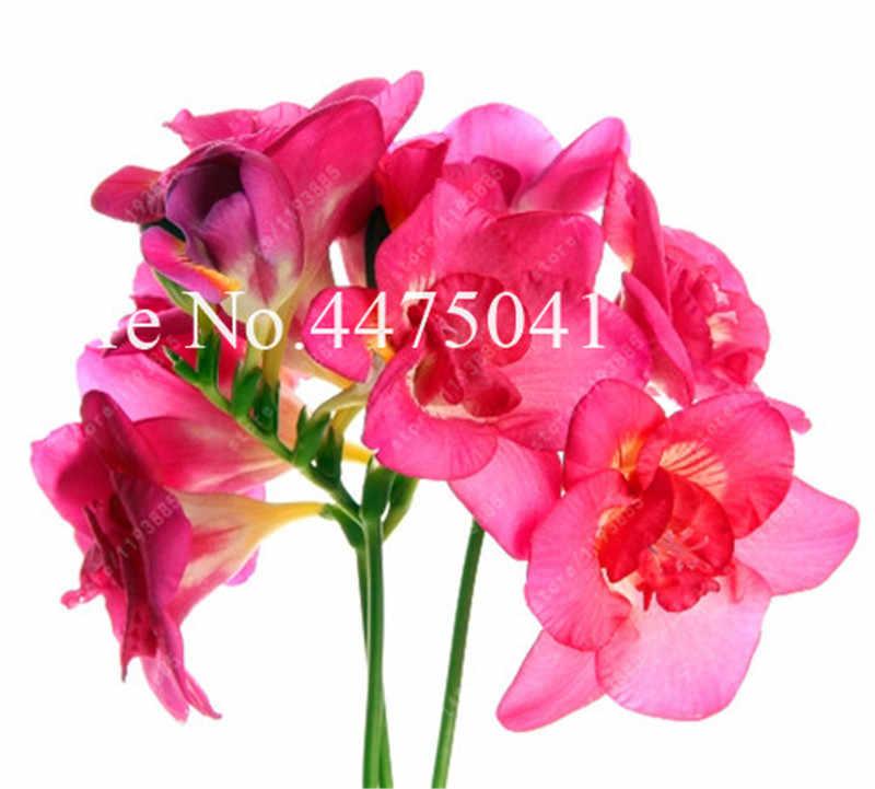 120 pz Freesia Bonsai Giardino Fresia Bulbi di Fiori Bonsai vaso di Fiori di Fiori di Orchidea Fresia Rizoma Bulbo Fiori (Colori Della Miscela)